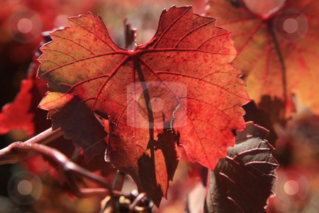 Autumn leaves and Vines stock photo, Grape Leaves in Autumn Color in the Adelaide Hills of Australia. by Mike Dawson