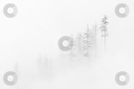 Winter Veil stock photo, A stand of tall fir trees in the Cascade Mountains near Snoqualmie Pass nearly veiled in white clouds and snow of a spring storm. by Mike Dawson