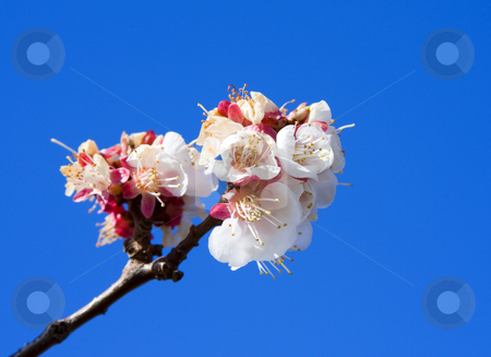 Cherry Blossom stock photo, A clump of Cherry blossoms on a branch against the cler blue MArch Sky by Mike Dawson