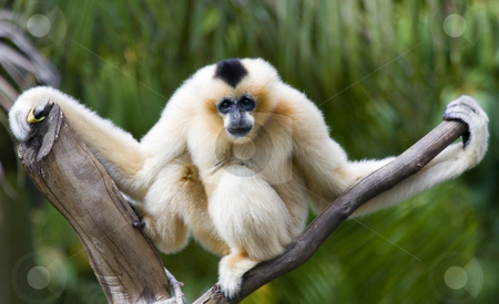 Just hanging Around stock photo, A Golden Siamang hangs from a treetop branch. by Mike Dawson