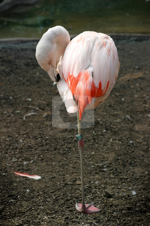 Chilean Flamingo stock photo, Pink Chilean Flaming cleaning itself and standing on one leg. by Henrik Lehnerer