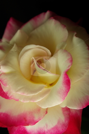 Pink And White Rose stock photo, A pink and white Rose brightly lit at the front with darker lighting at the back by Lynn Bendickson
