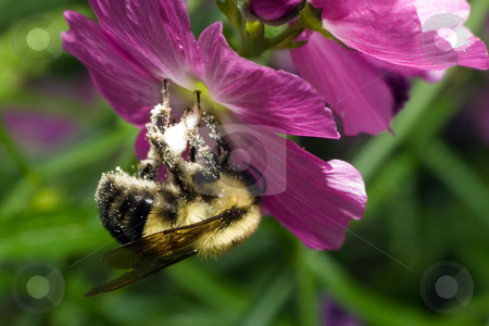 Collecting Pollen stock photo, A large bumblebee collecting pollen from a flower by Richard Nelson