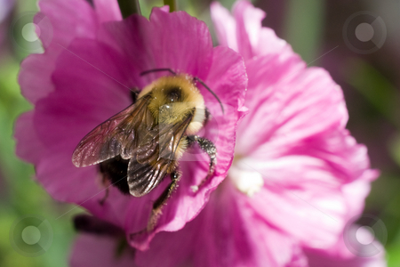 Bumble Bee stock photo, A large bumblebee collecting pollen from a flower by Richard Nelson