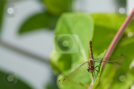 Dragonfly stock photo, An adult dragonfly taking a break on a leaf stem by Richard Nelson