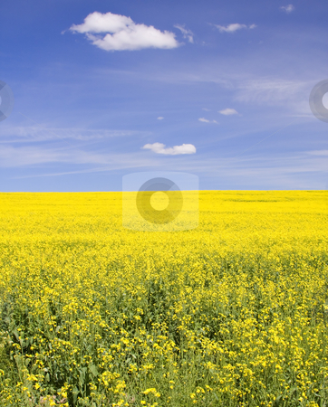 Mustard ? stock photo, A colorful display of yellow mustard fields in Central Oregon under a brilliant blue sky by Mike Dawson
