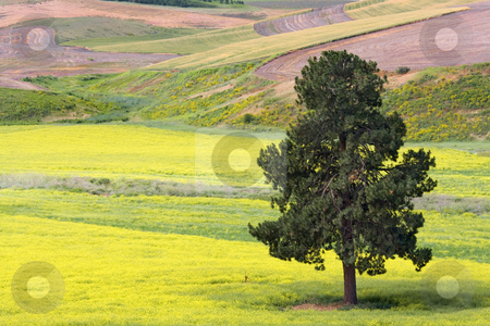 Within a Sea of Yellow stock photo, A lone pine in a sea of colorful mustard Palouse region of Eastern Washington by Mike Dawson