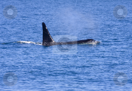 There he blows stock photo, A male irca from J pod surfaces near San Juan Islands by Mike Dawson