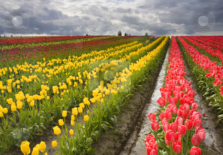 Under Stormy Skies stock photo, Stormy skies over the colorful tulip fields near Mt. Vernon, Washington by Mike Dawson