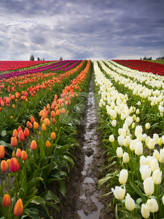 Sea of Color stock photo, The colorful tulip fields around Mt. Vernon Washington during the Spring Tulip Festival in Skagit County by Mike Dawson