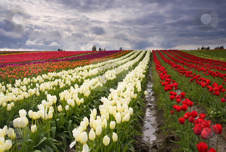 Storm over Tulips stock photo, A rainstorm breaking up over the colorful tulip fields near Mt. Vernon, Wa. by Mike Dawson