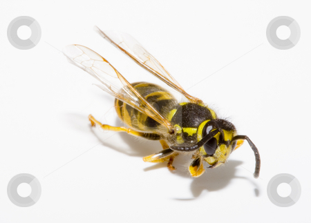 Wasp  stock photo, Detail of a common wasp - Vespula vulgaris by Petr Koudelka