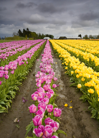 Color Lines stock photo, Storm Clouds over a colorful tulip farm in Skagit County by Mike Dawson