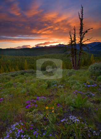 Summer Solstice stock photo, Mt. Rainier hiding under a lenticular cloud beneath a spectacular sunset viewed from the crest of Bethel Ridge. Phlox and Western Buttercup dot the meadow with lupine just beginning to bloom. by Mike Dawson