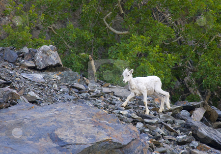 Baby Dall stock photo, A Dall Sheep kid climbing a rocky slope on the Kenai Peninsula, Alaska. by Mike Dawson