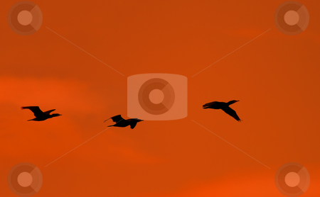 Flight of the Cormorant stock photo, A trio of Cormorants flying against the sunset skies over Potholes Reservoir by Mike Dawson