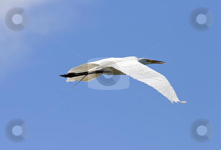 Glide stock photo, A cattle egret glides above the waters of the Potholes Reservoir. by Mike Dawson