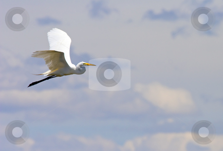 Take to the Air stock photo, A cattle egret takes to the air. by Mike Dawson