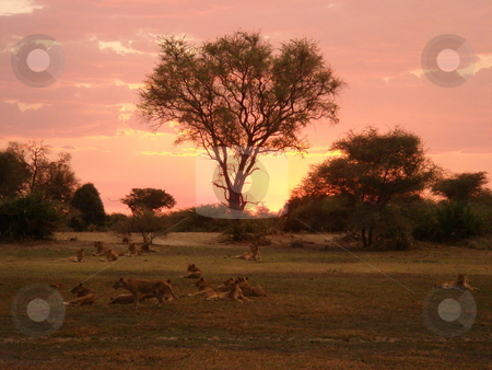 Lions at sunset stock photo, Lions relaxing at sunset by Johnny Griffin