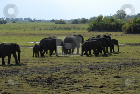Elephant Pack stock photo, The elephant (family: Elephantidae) is a large land mammal in the order Proboscidea. by Johnny Griffin
