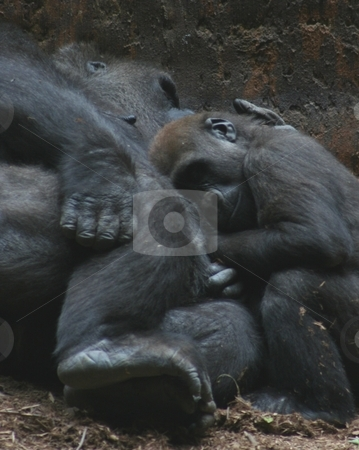 Lowland gorilla mother and baby sleeping and cuddling stock photo, Lowland gorilla mother and her baby sleeping together, baby with its head resting on the mother, mother's arm around the infant by Wes Shepherd
