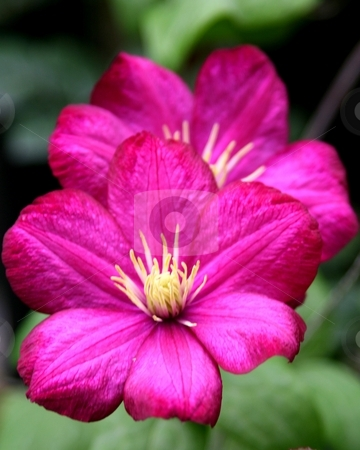 Pink flowers with soft focus green leaves in background stock photo, Two Pink/Purple Flowers photographed close up by Wes Shepherd