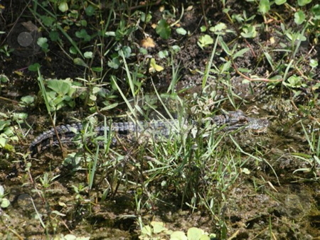 Everglades baby alligator stock photo,  by Lori Kirk