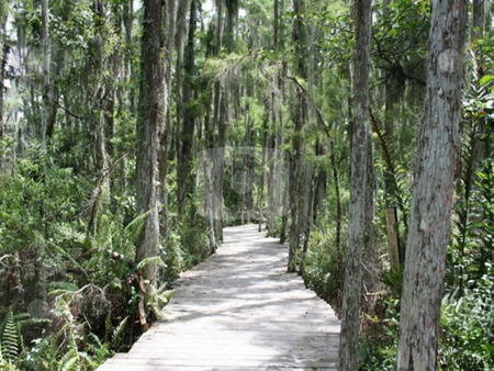 Tall Cypress stock photo, Wooden path through cypress trees by Lori Kirk