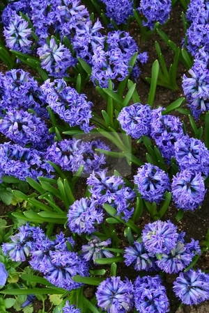 Blue / purple Hyacinths in bloom with leaves showing stock photo, Blue / purple hyacinths in bloom viewed from above with green leaves showing between flowers by Wes Shepherd