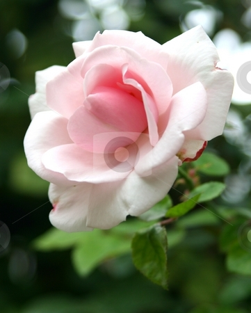 Pink rose blooming with green leaves in background stock photo, Pink rose on a stem with green leaves in background, selective focus to emphasize the flower by Wes Shepherd