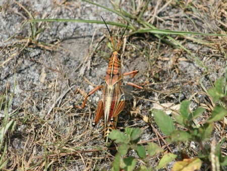 Everglades Cricket stock photo,  by Lori Kirk