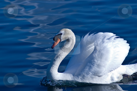 Graceful swan stock photo, Graceful swan swimming on the lake by Ron Johnson