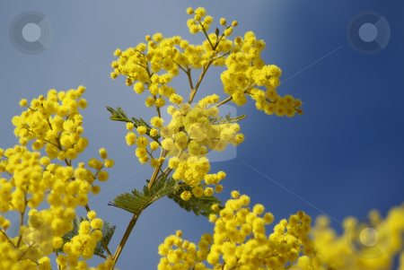 Mimosa stock photo, Mimosa Tree blomming in February. French Riviera by Serge VILLA
