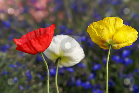 Colored poppies stock photo, 3 colored poppies under a field of flowers by Serge VILLA
