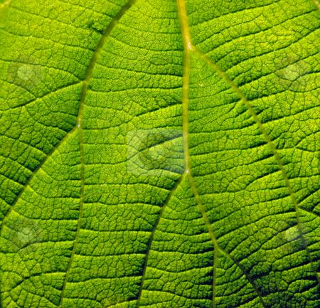 Leaf fields stock photo, Kiwi leaf macro like fields by Sinisa Botas