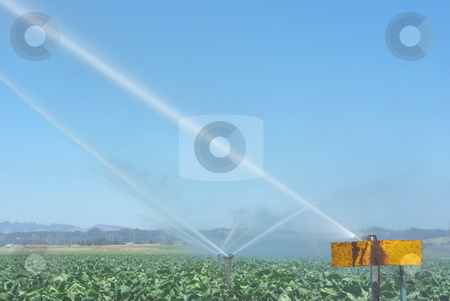 Watering Cabbage Crops stock photo, Automatic sprinklers water cabbage crops in californias coastal farmlands. by Lynn Bendickson