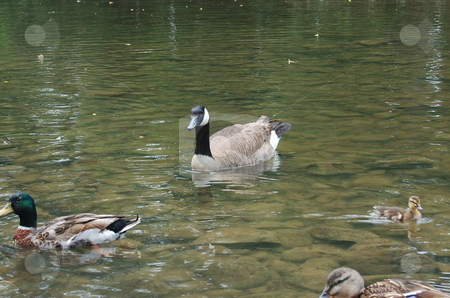 Ducks swimming in river stock photo, Ducks swimming in clear water by M.R. Lord