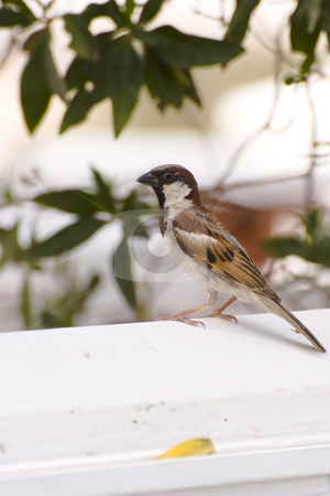 House Sparrow stock photo, A common House Sparrow sitting on an outside wall. by Nicolaas Traut