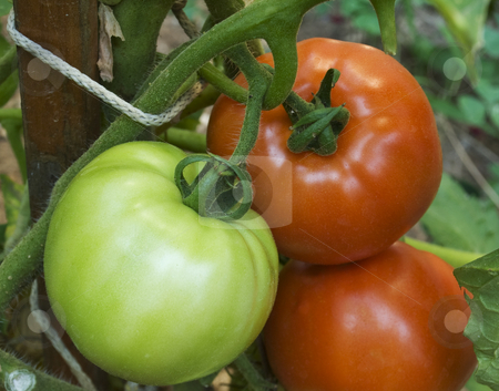 Tomatoes stock photo, Green and red tomatoes on the same plant. by Sinisa Botas