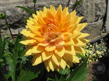 A beautiful Dahlia Hamari Gold flower in an English garden. stock photo, A beautiful Dahlia Hamari Gold flower in an English garden. by Stephen Rees