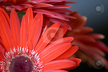 Red flower stock photo, Close up of a red flower by Serge VILLA
