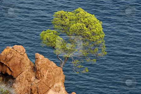 Pin tree stock photo, Pin tree on the stone coast in french riviera by Serge VILLA