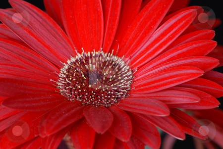 Red daisy stock photo, Close up of a red daisy flower by Serge VILLA