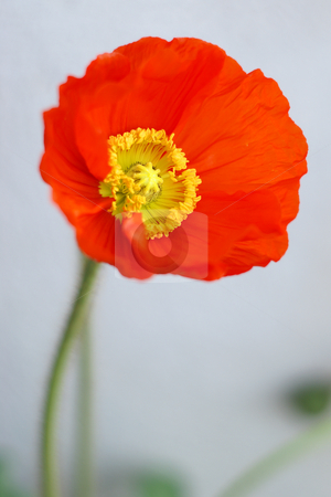 Poppy flower stock photo, Close up of a poppy flower blooming by Serge VILLA