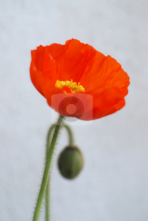 Poppy flower stock photo, Close up of a poppy plant and flower by Serge VILLA