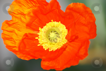 Poppy petals stock photo, Close up of a poppy flower petals by Serge VILLA