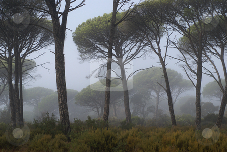 Fog coming through pine trees stock photo, Image of a pines tree in a mediterranean forest surrounded by fog, early in the morning. by Serge VILLA