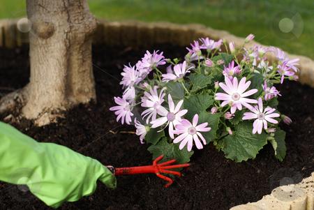 Gardening stock photo, Gloved hand with gardening grapple (flowers : cineraire senetti) by Serge VILLA