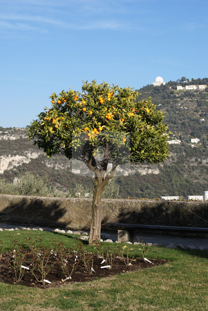 Orange Tree stock photo, Orange tree during a winter in the city of Nice (French Riviera) by Serge VILLA