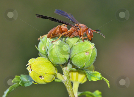 Red Wasp on Top stock photo, A red wasp rests on top of a bud in a suburban garden by Jeff Clow